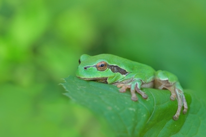 Obraz rosnička zelená