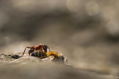 Obraz Mravenec na obědě