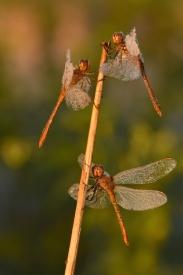 Obraz Vážky jižní