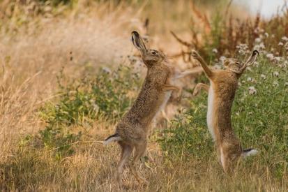 Obraz Zajíci polní