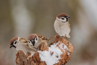Obraz Vrabci polní