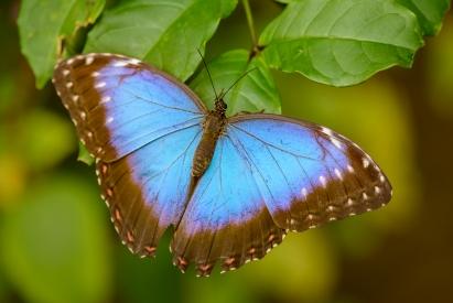 Obraz Modrý tropický motýl
