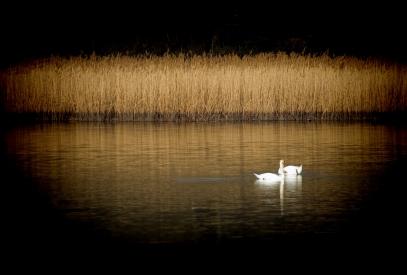 Obraz Párek labutí na rybníku s rákosím
