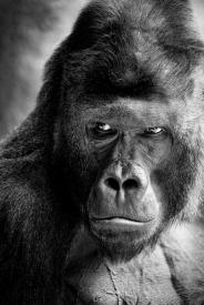 Obraz Gorila nížinná - Richard