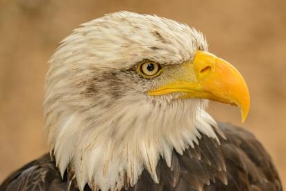 Obraz Portrét orla bělohlavého