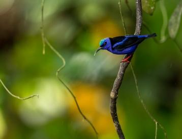 Obraz Květomil modrý