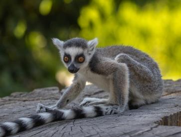 Obraz Lemur