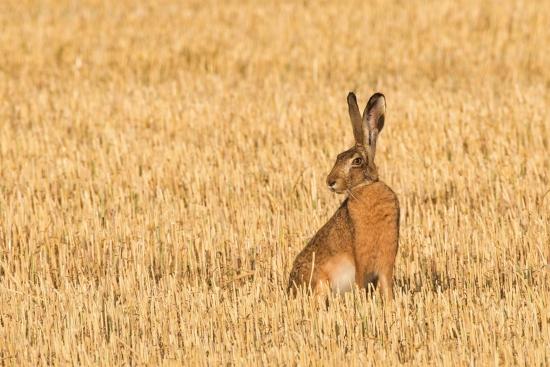 Obraz Zajíc polní