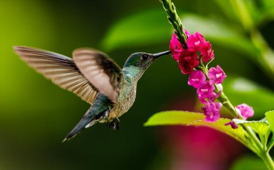 Obraz Kolibřík sající z květu
