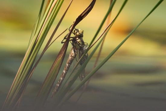 Obraz Vážka obecná