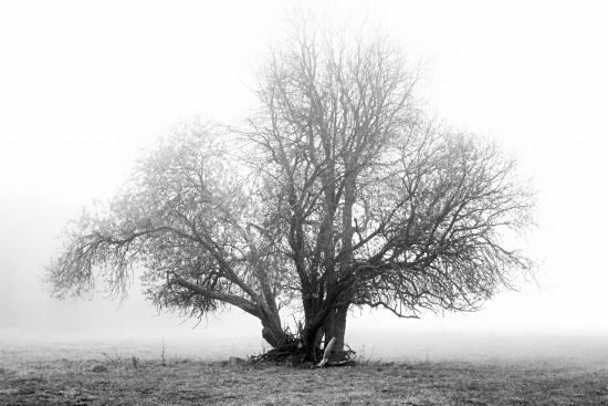 Obraz Starý košatý strom v mlze